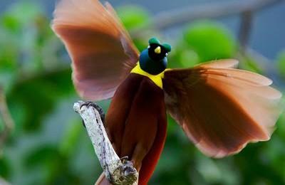 Daftar Burung Dilindungi Di Indonesia