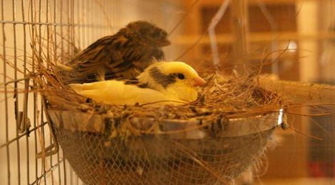 Ternak Burung Kenari Jual Kawin