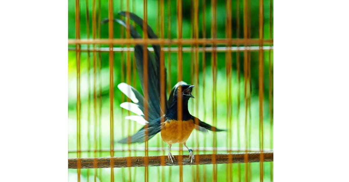 Penanganan-penanganan Khusus Kepada  Burung Murai Batu