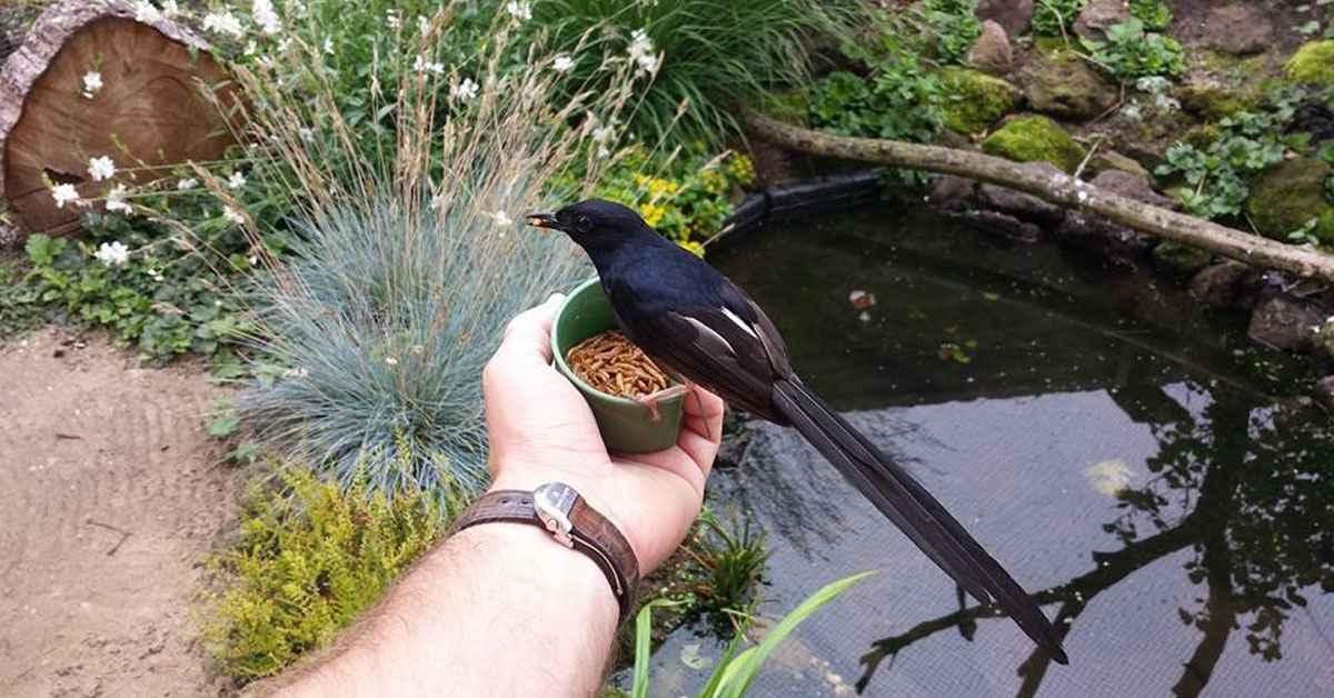 makanan murai batu harian biar cepat gacor burung