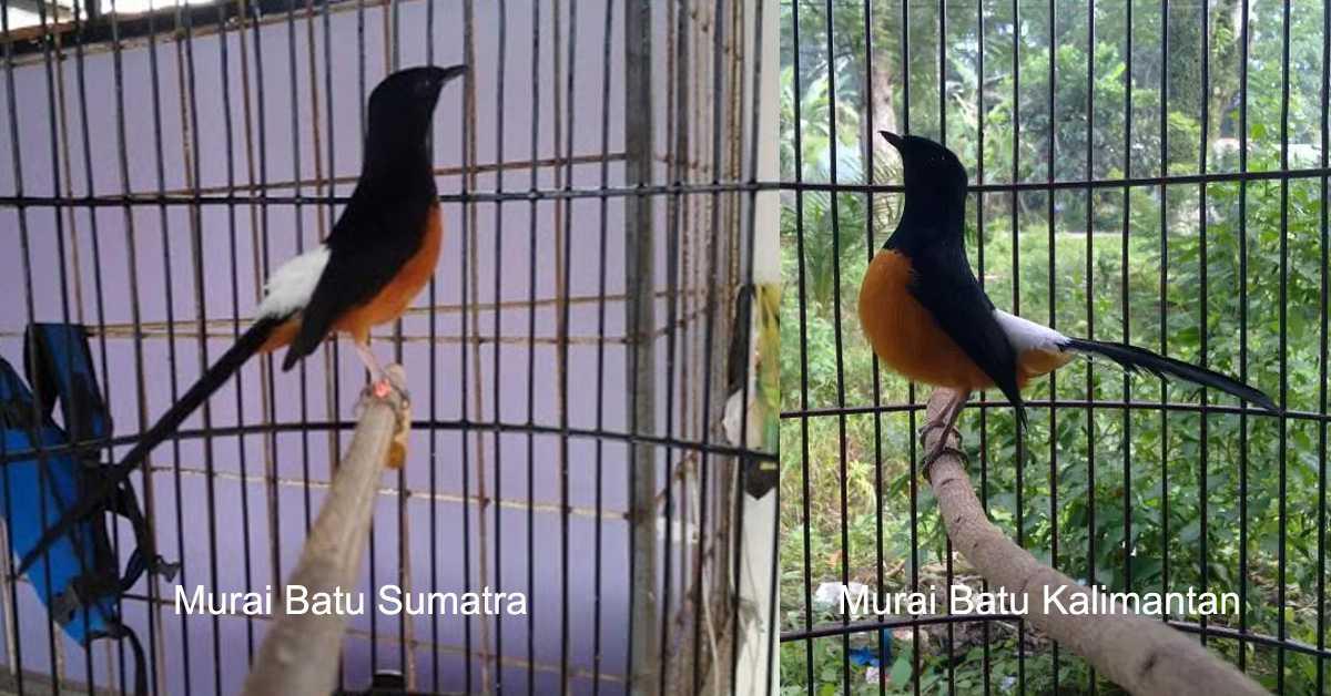 Perbedaan murai batu sumatra dan kalimantan